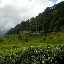 kebun teh standar internasional&pabriknya