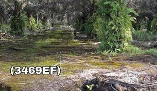 Lahan Sawit Katingan Kalimantan Tengah Murah (3469EF)