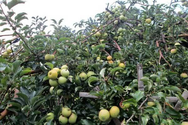 Tanah kebun apel 26,6 ha + 2 Villa di Bumiaji Kota Batu 9
